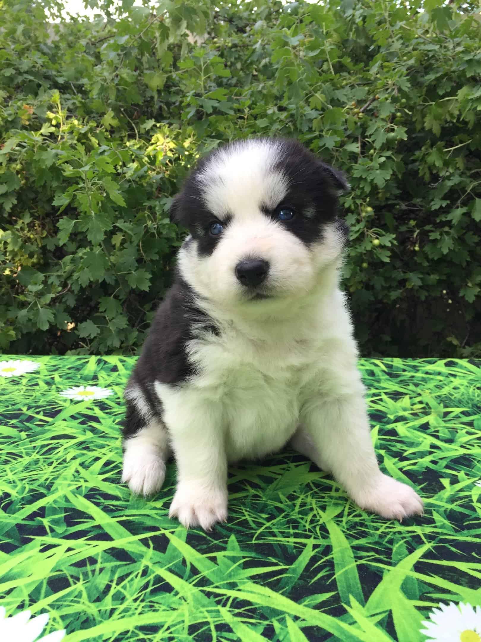 Albert - Pomsky Mini Husky puppy.