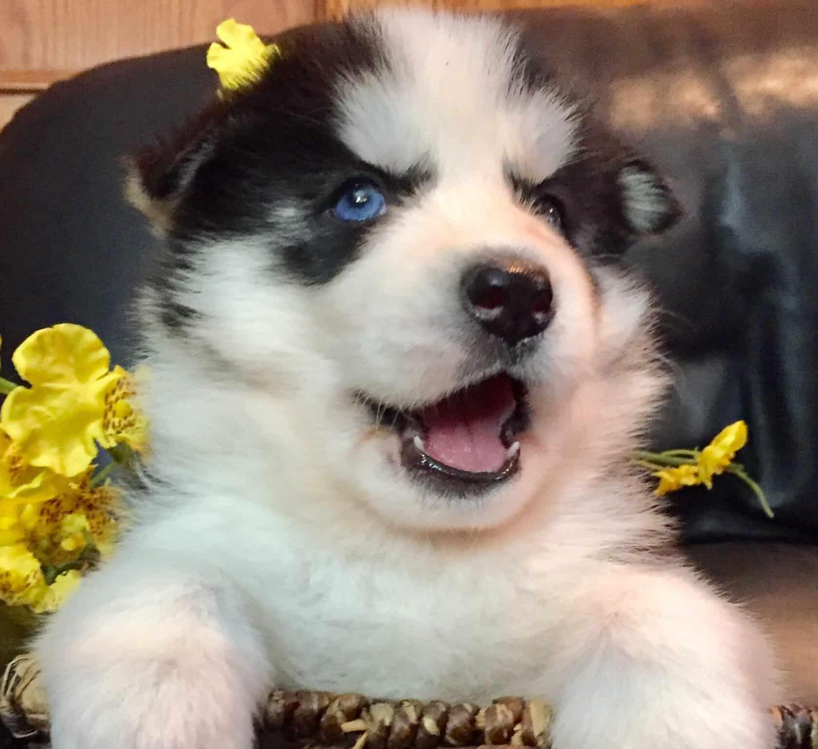 Amarok - Pomsky Mini Husky puppy.