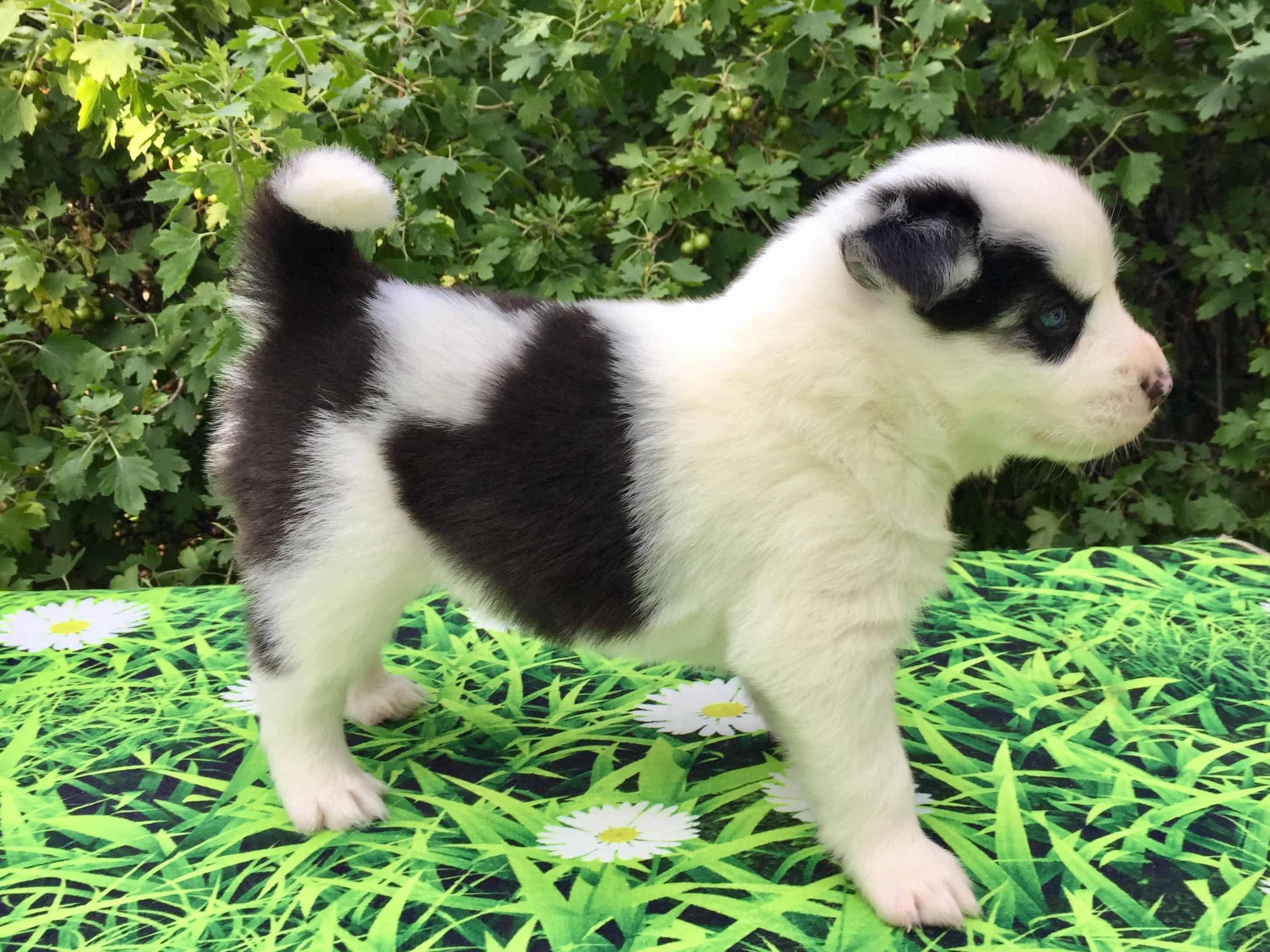 Archie - Pomsky Mini Husky puppy.