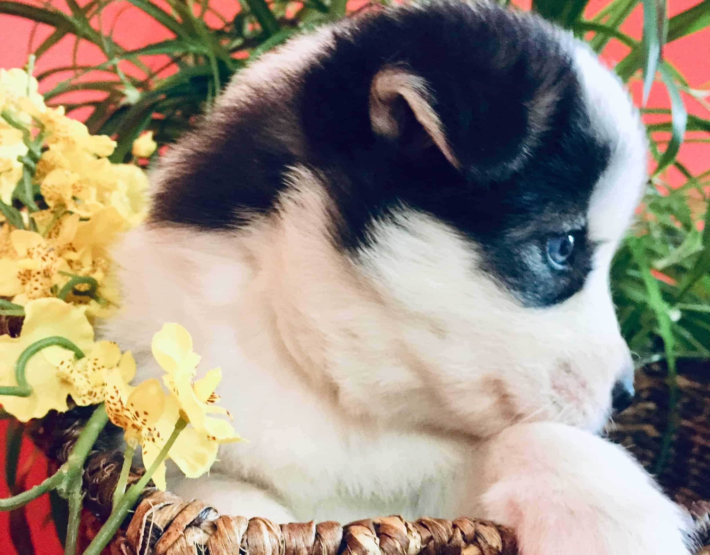 Aria - Pomsky Mini Husky puppy.