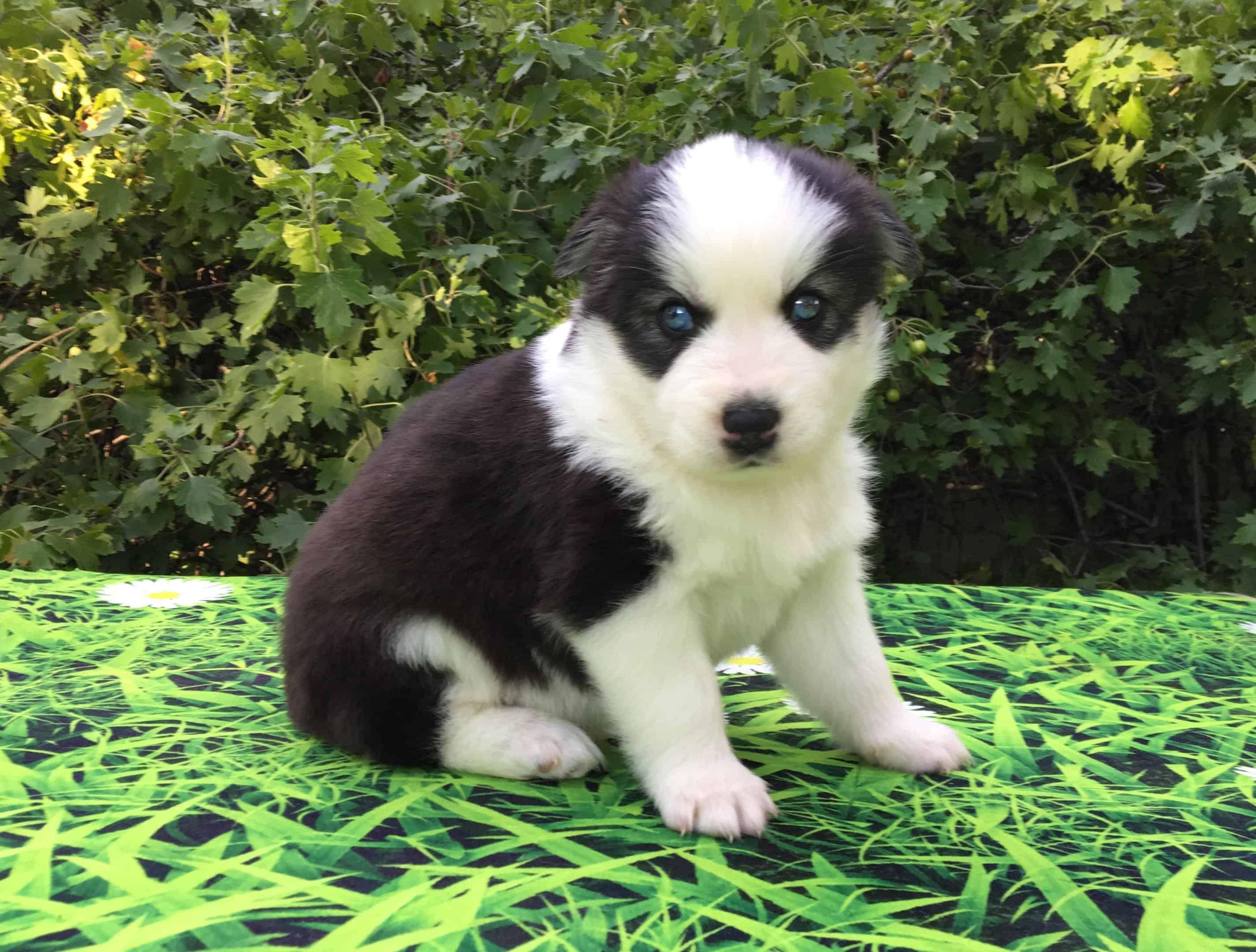 Aurora - Pomsky Mini Husky puppy.